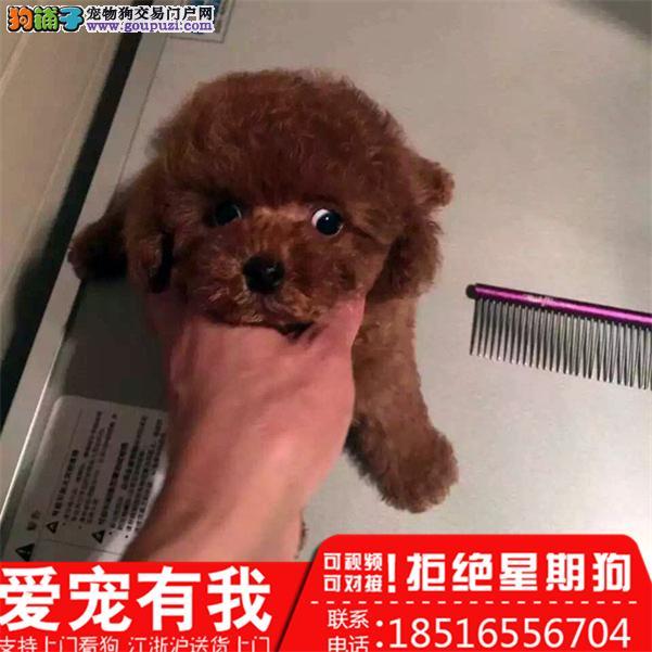 专业繁殖泰迪犬 血统纯种 可实地挑选 可送到家
