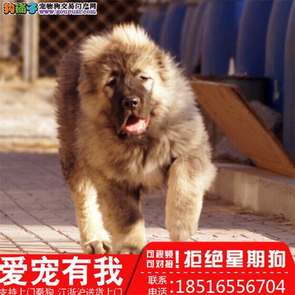 专业高加索繁殖基地出售血统纯赛级高加索幼犬