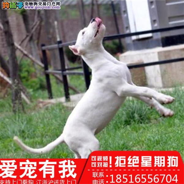 出售精品杜高犬/包纯种·保健康·包养活/可送货上门