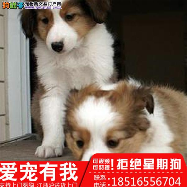 完美纯种苏牧幼犬出售。有喜欢的欢迎现场挑选