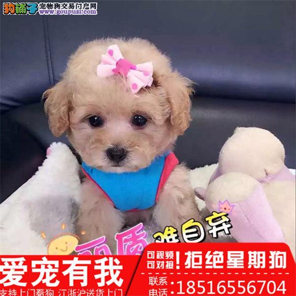 专业繁殖(纯种泰迪幼犬)可来基地挑选。签协议保健康