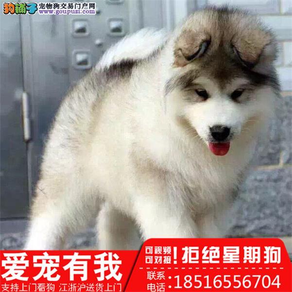大骨量阿拉斯加雪橇犬,巨型阿拉,健康保一年可见大狗