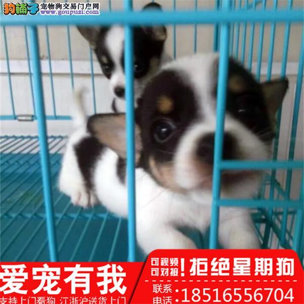 出售高品质(柯基幼犬)三色两色均有包纯种健康