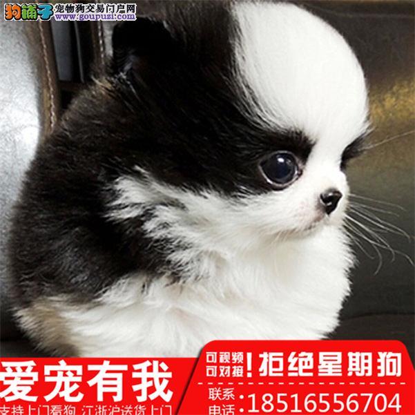 迷你小型西施犬出售,小狗狗长不大的,很可爱包健康