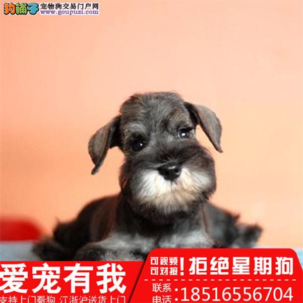 纯种迷你雪纳瑞幼犬、疫苗驱虫齐包品质健康三个月