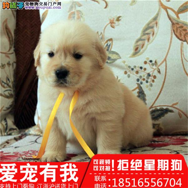金毛幼犬 送货上门 货到付款 可实地挑选包健康