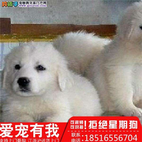 纯种巨型大白熊幼犬终身品质保障品相极佳健康协议