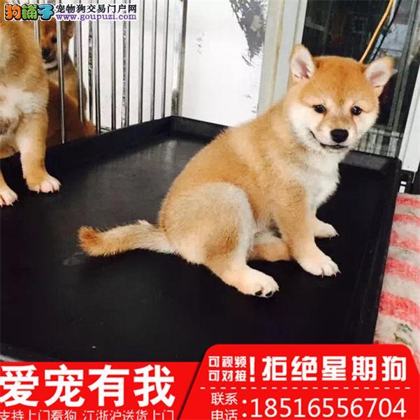 柴犬 专业繁殖 只做精品 签协议售后