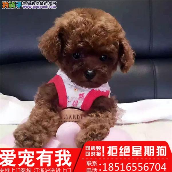 高品质泰迪犬 专业基地 健康签协议 可送货泰迪