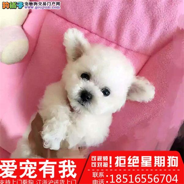 直销各色玩具泰迪熊 茶杯泰迪犬幼犬 真实照片包健康