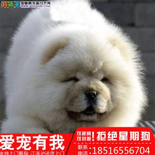 出售纯种肉嘴蓝舌头大头松狮幼犬包健康 公母同价