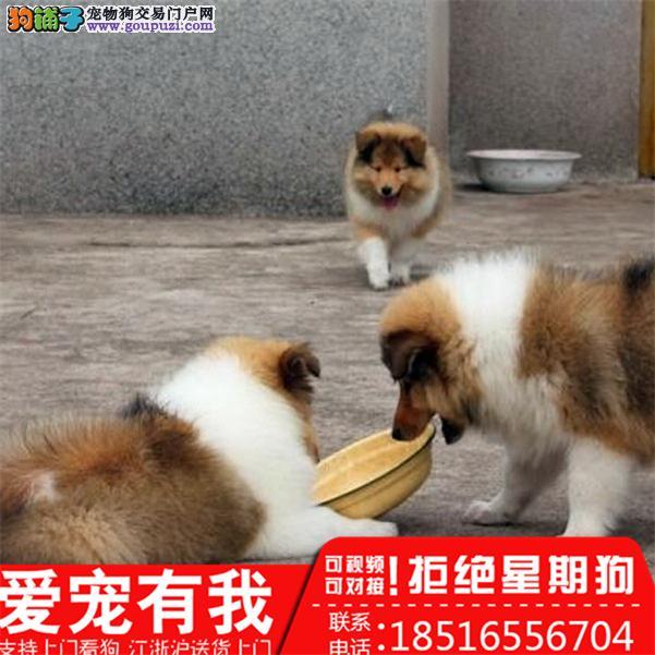 苏牧幼犬 常年出售 可当面检测 签健康活体协议