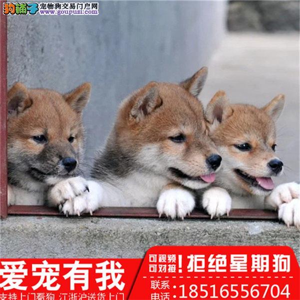完美品相 实惠价格 纯种柴犬幼犬 疫苗齐有保障