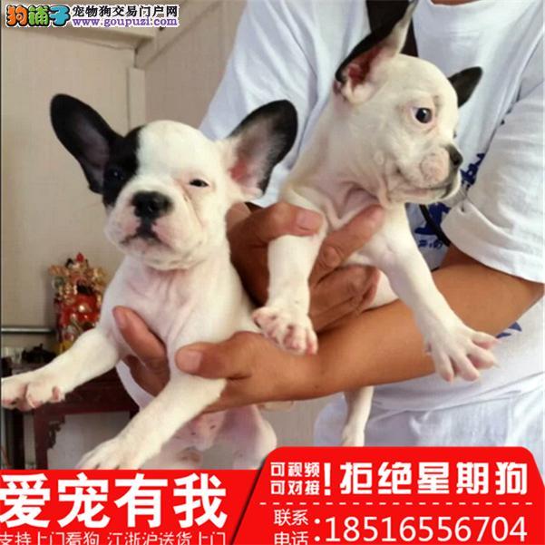 纯种法国斗牛犬 保证纯种 血统纯正 常年售卖可