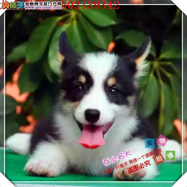 cku认证犬舍出售高品柯基质 签协议证件齐全