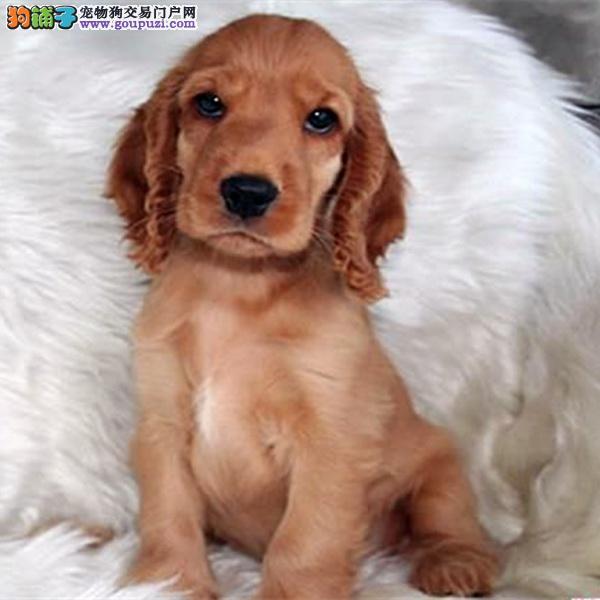 cku认证犬舍出售高品质可卡犬 签协议证件齐全