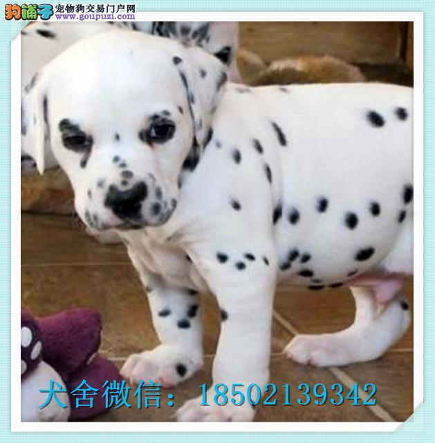 cku认证犬舍出售高品质斑点狗 签协议证件齐全