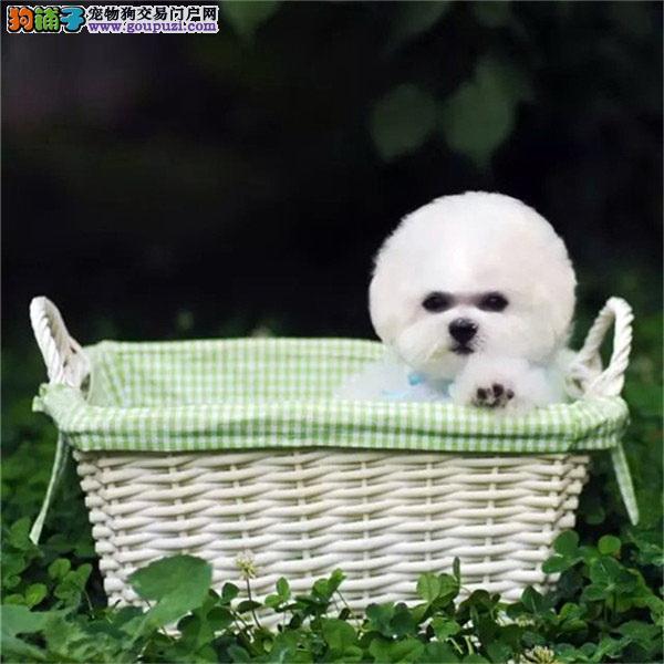 cku认证犬舍出售高品质 茶杯泰迪签协议证件齐全