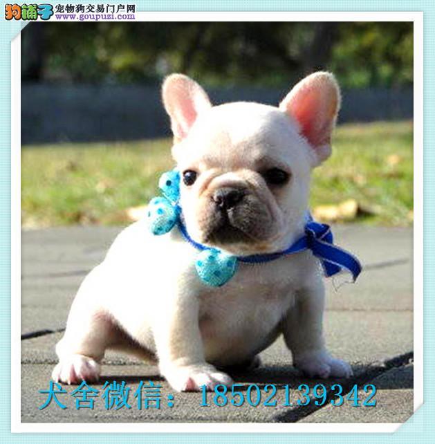 cku认证犬舍出售高品质法牛 签协议证件齐全