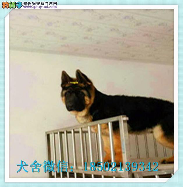cku认证犬舍出售高品质 德牧签协议证件齐全