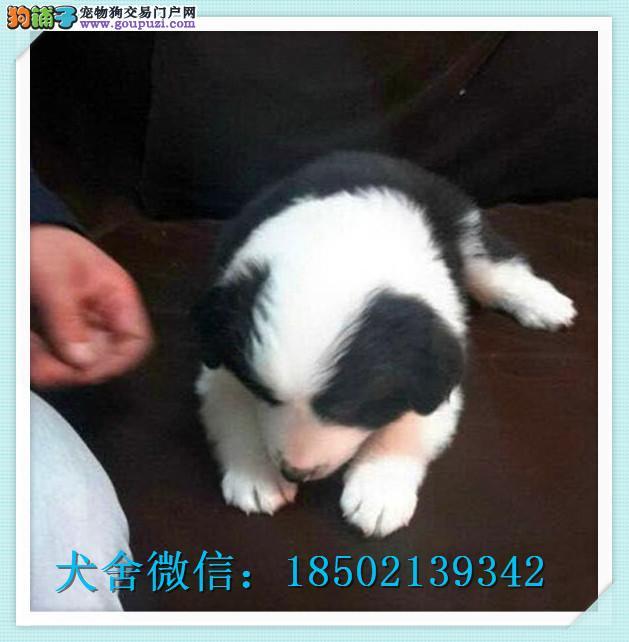 cku认证犬舍出售高品质 边牧签协议证件齐全