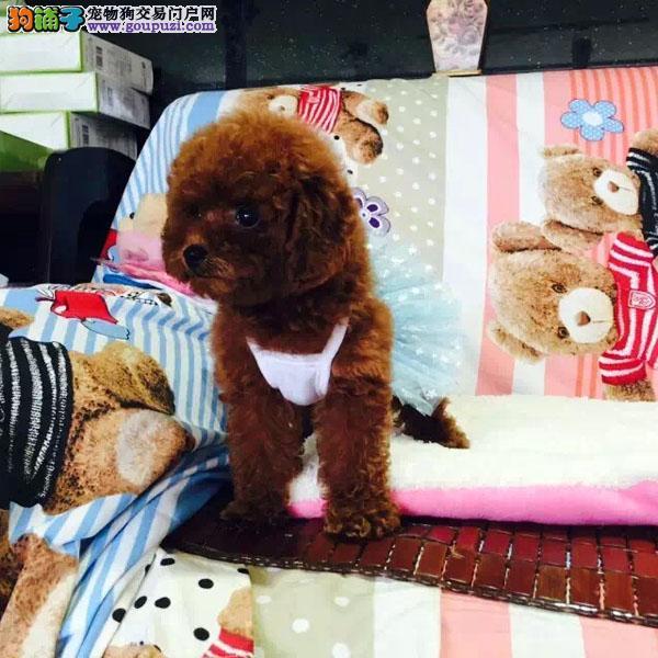 cku认证犬舍出售极品泰迪 签协议保健康证件齐全