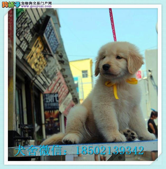 cku认证犬舍出售高品质 金毛签协议证件齐全