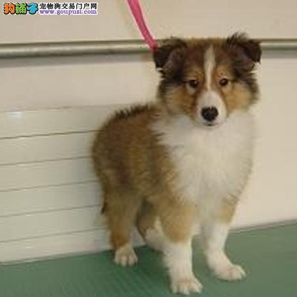 cku认证犬舍出售极品 喜乐蒂签协议保健康证件齐全