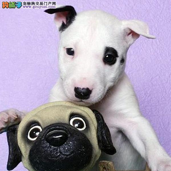 cku认证犬舍出售极品 牛头梗签协议保健康