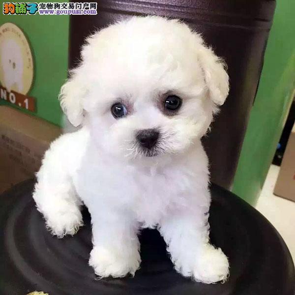 cku认证犬舍出售极品 泰迪签协议保健康