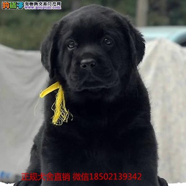 cku认证犬舍出售极品 拉布拉多签协议保健康