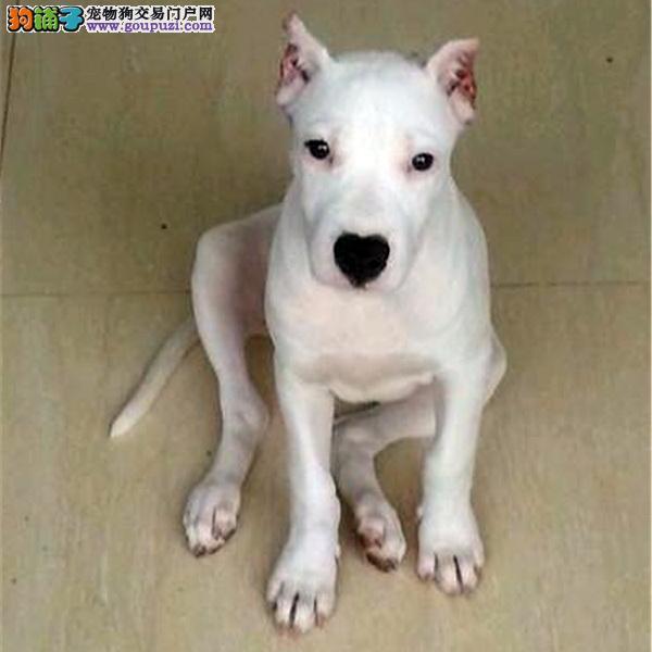 cku认证犬舍十二年繁育精品杜高 养宠从遇见百业开始