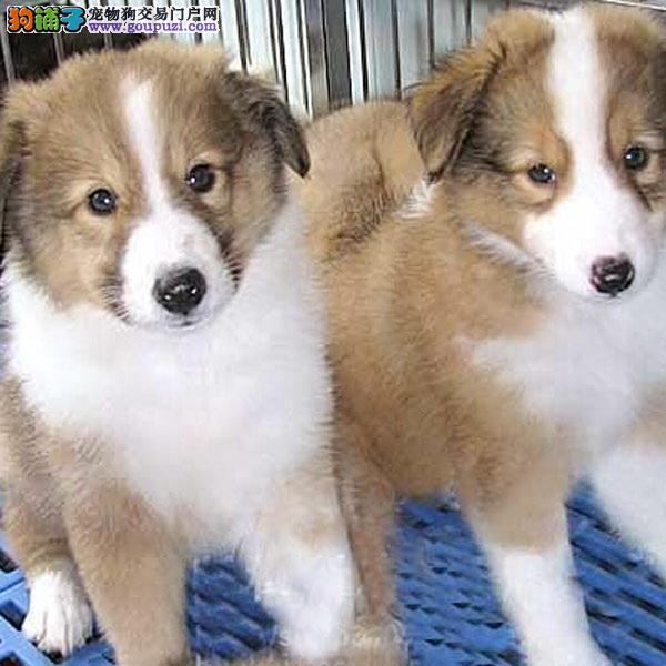 cku认证犬舍出售极品苏格兰牧羊犬 签协议保健康
