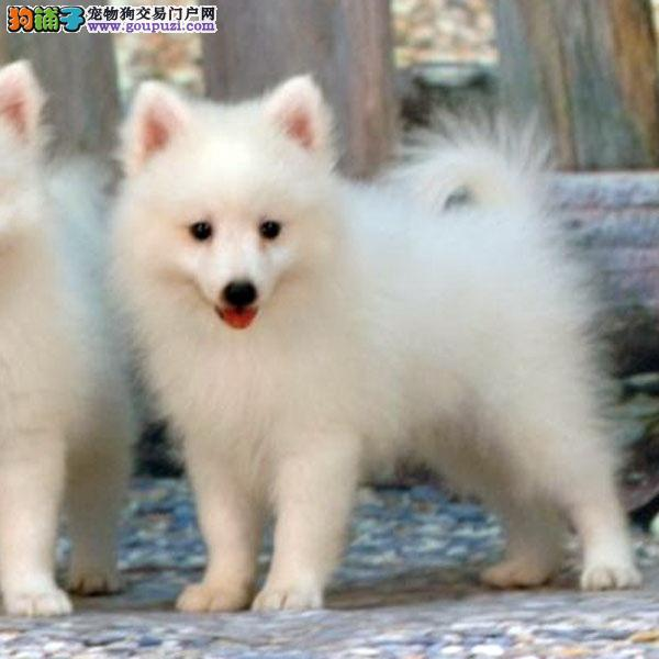 cku认证犬舍出售极品 银狐签协议保健康