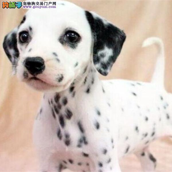 cku认证犬舍出售高品质 斑点狗签协议证件齐全