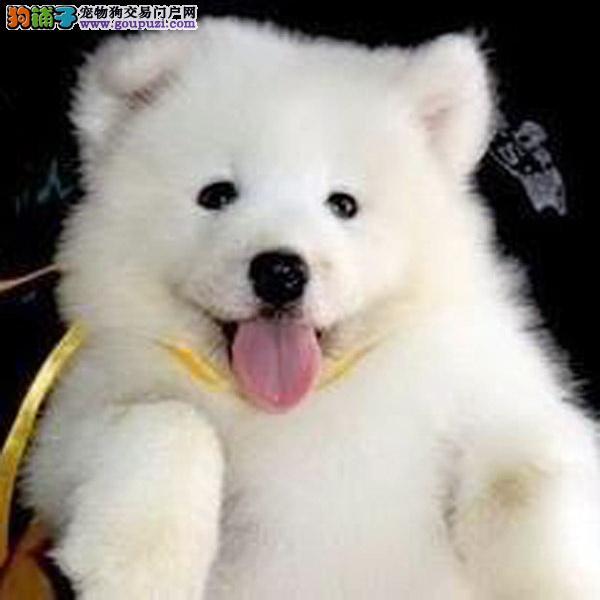 cku认证犬舍十二年繁育精品萨摩