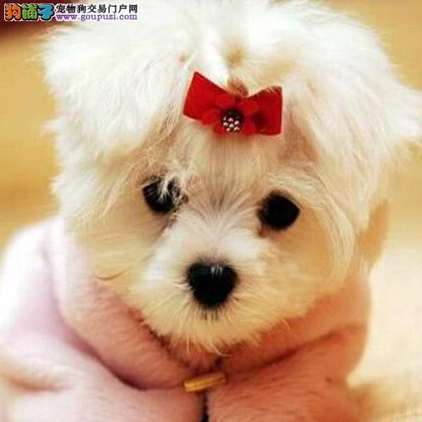cku认证犬舍十二年繁育精品马尔济斯犬