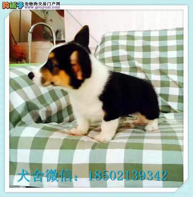 cku认证犬舍出售高品质柯基 签协议证件齐全