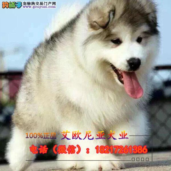 本犬舍十二年繁育精品阿拉斯加犬