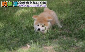cku认证犬舍十二年繁育精品秋田养宠从遇见百业开始