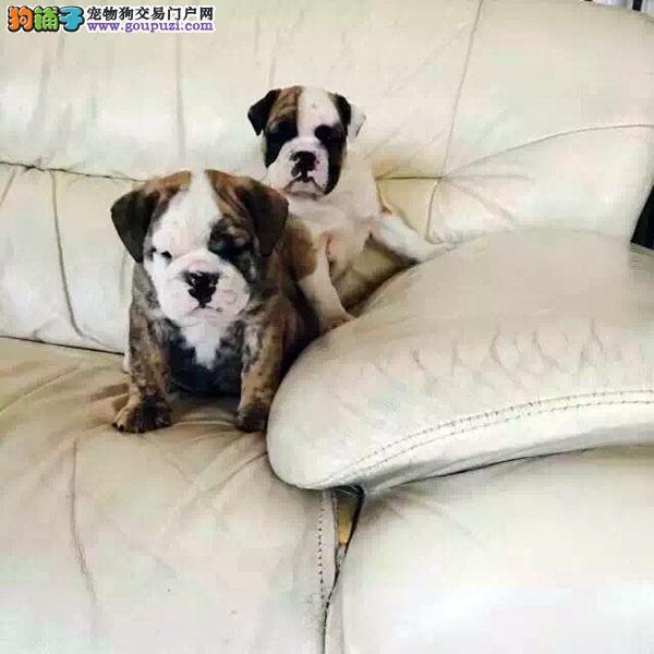 cku认证犬舍出售高品质 英牛签协议证件齐全