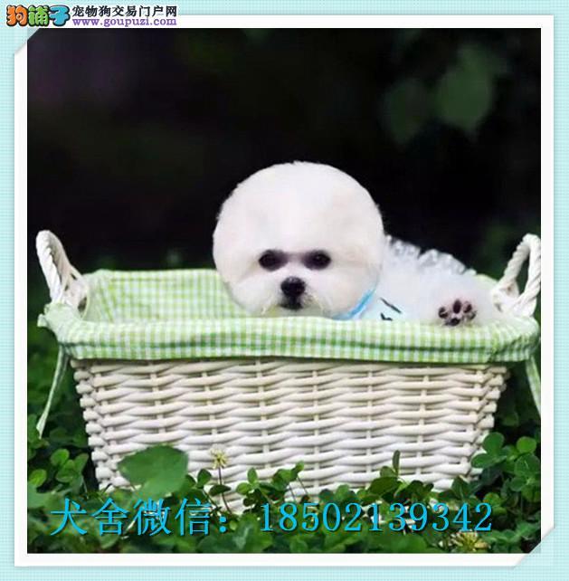 cku认证犬舍十二年繁育精品比熊