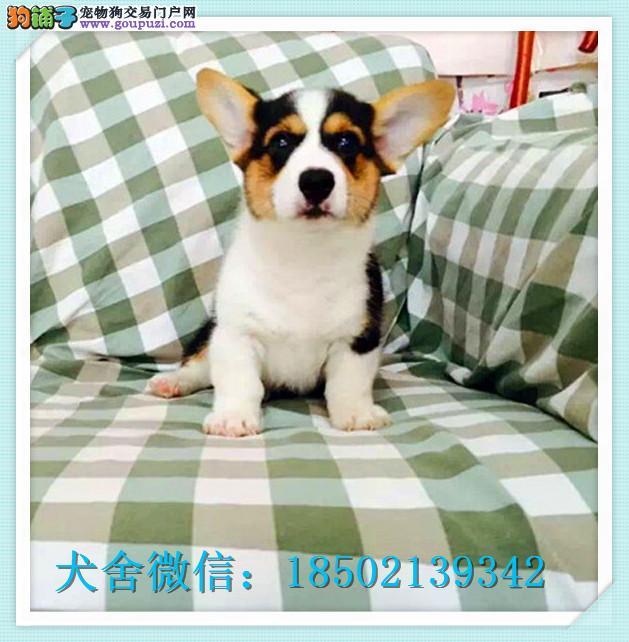 cku认证犬舍出售高品质 柯基签协议证件齐全