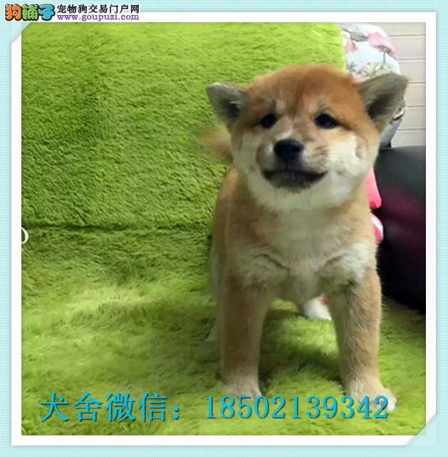 cku认证犬舍出售高品质 柴犬签协议证件齐全