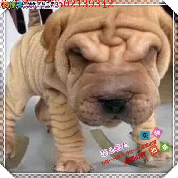 cku认证犬舍出售高品质沙皮狗 签协议证件齐全