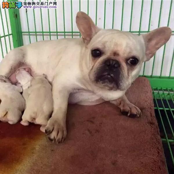 cku认证犬舍出售高品质法斗 签协议证件齐全