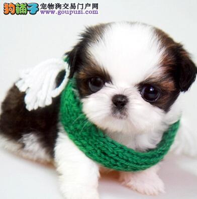 cku认证犬舍出售高品质西施犬签协议证件齐全