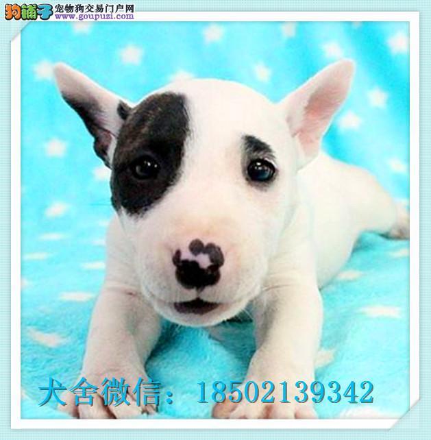 cku认证犬舍出售高品质牛头梗 签协议证件齐全
