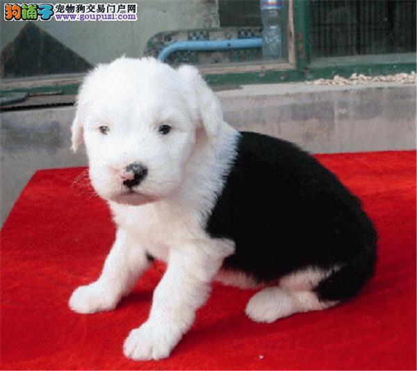 cku认证犬舍出售高品质 古牧签协议证件齐全