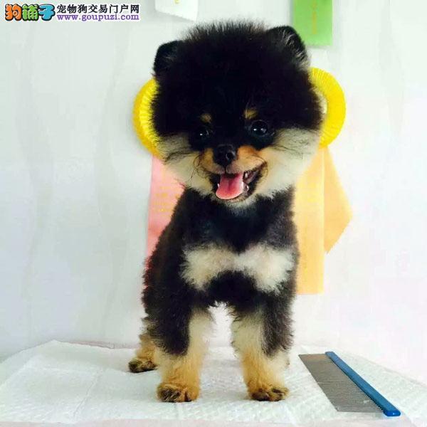 cku认证犬舍出售高品质博美 签协议证件齐全
